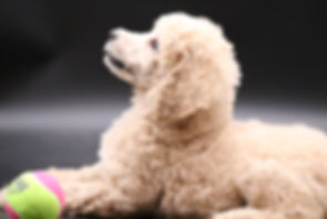 standard poodle currently available