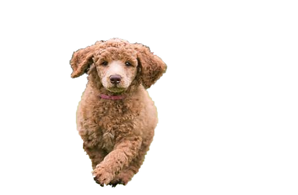 Standard Poodle Breeder