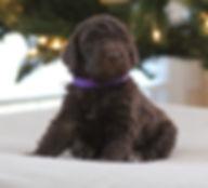 standard poodle breeder chocolate puppy