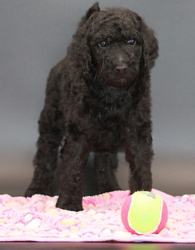 IMG_7340 (3).jpgstandard poodle puppies for sale