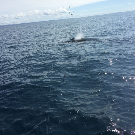 Whale Watching Noosa