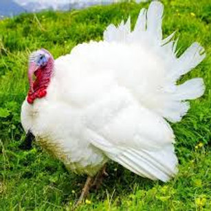 Broad Breasted White Turkey (not sexed)