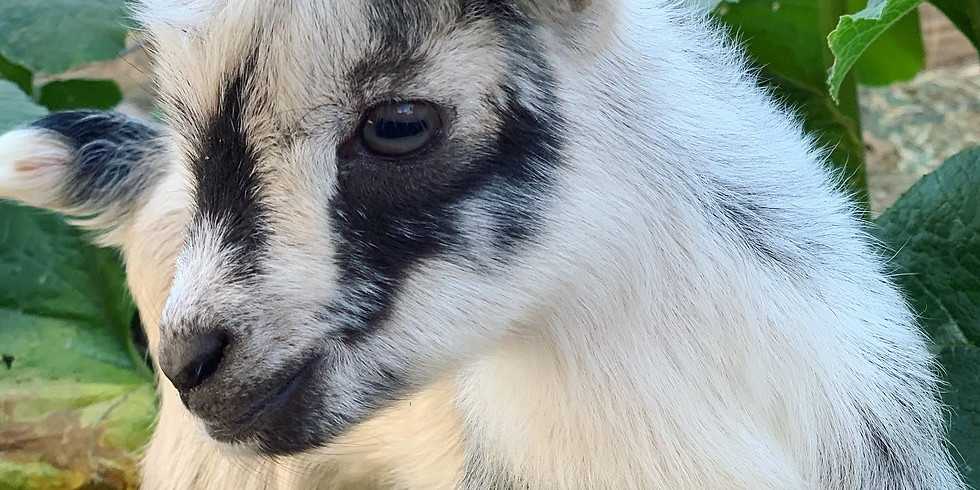 Tehachapi - Goat Yoga at Central Park 9am 9/8