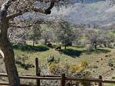 Springtime pasture under the oaks