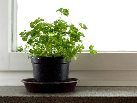 Daržas ant palangės – petražolės
