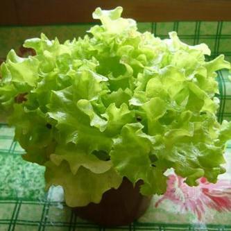Daržas ant palangės – salotos