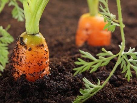 Daržas ant palangės – morkos