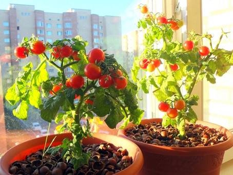 Daržas ant palangės – pomidorai