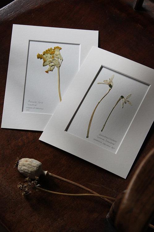 Pair of Herbariums (Snow Drop & Cowslip)