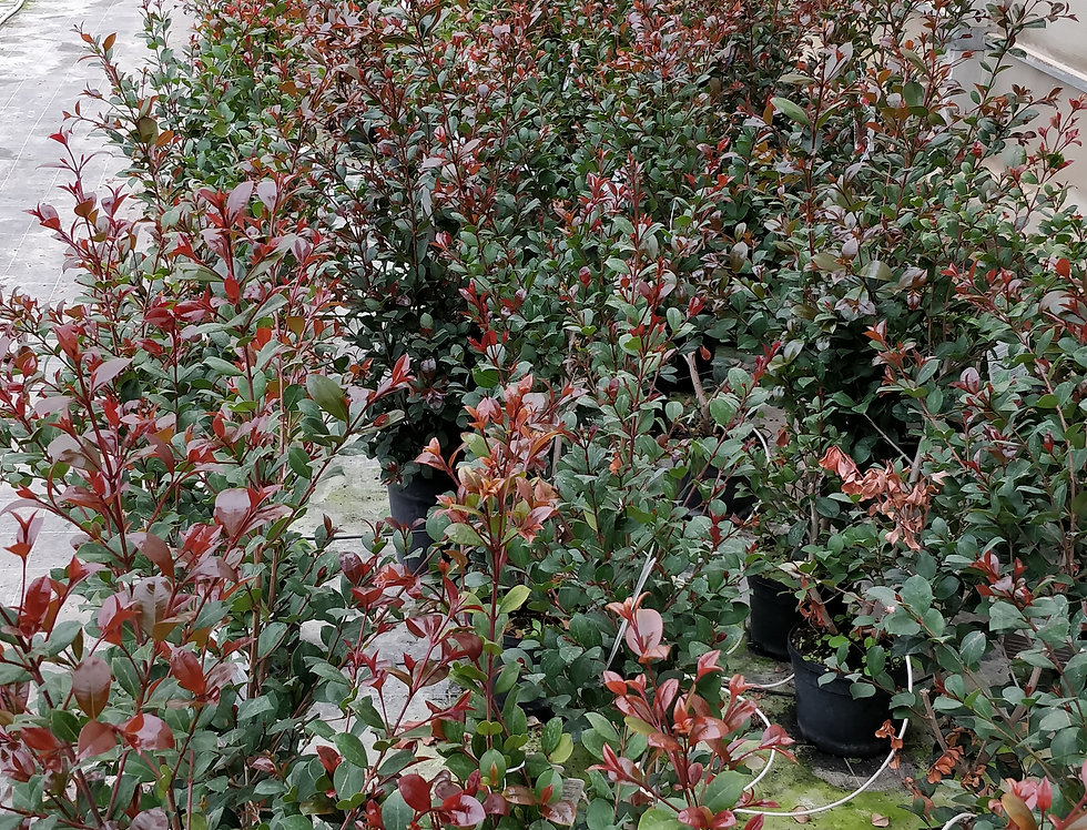 Eugenia Etnafire pot18cm