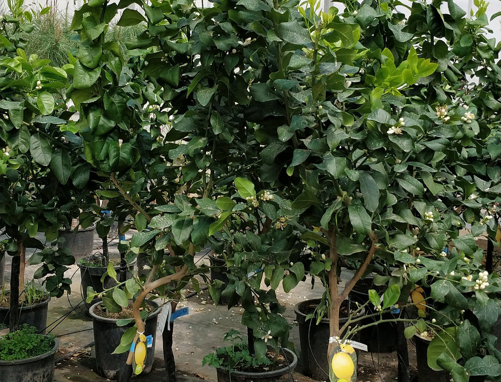 Lemon Tree pot 35cm