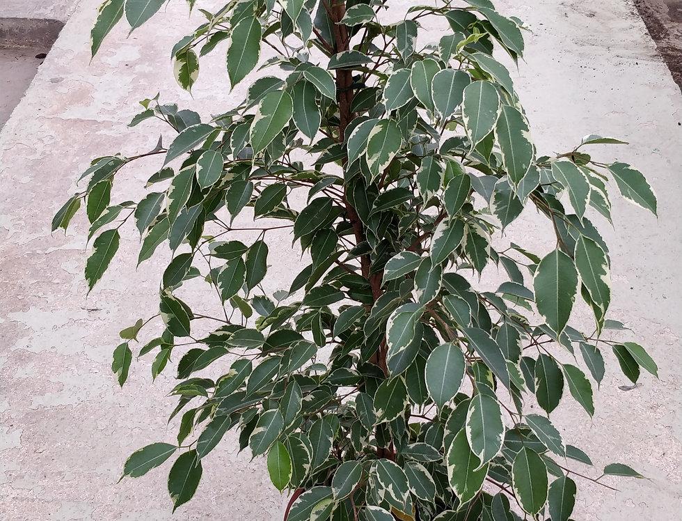 Ficus Pyramid