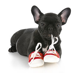 french bulldog puppy chewing on pair of
