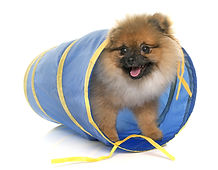 young pomeranian dog in tunnel in front