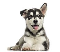 Husky malamute puppy lying, panting, iso