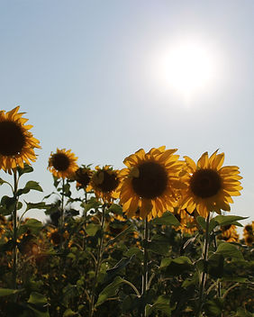 Sunflowers+.JPG