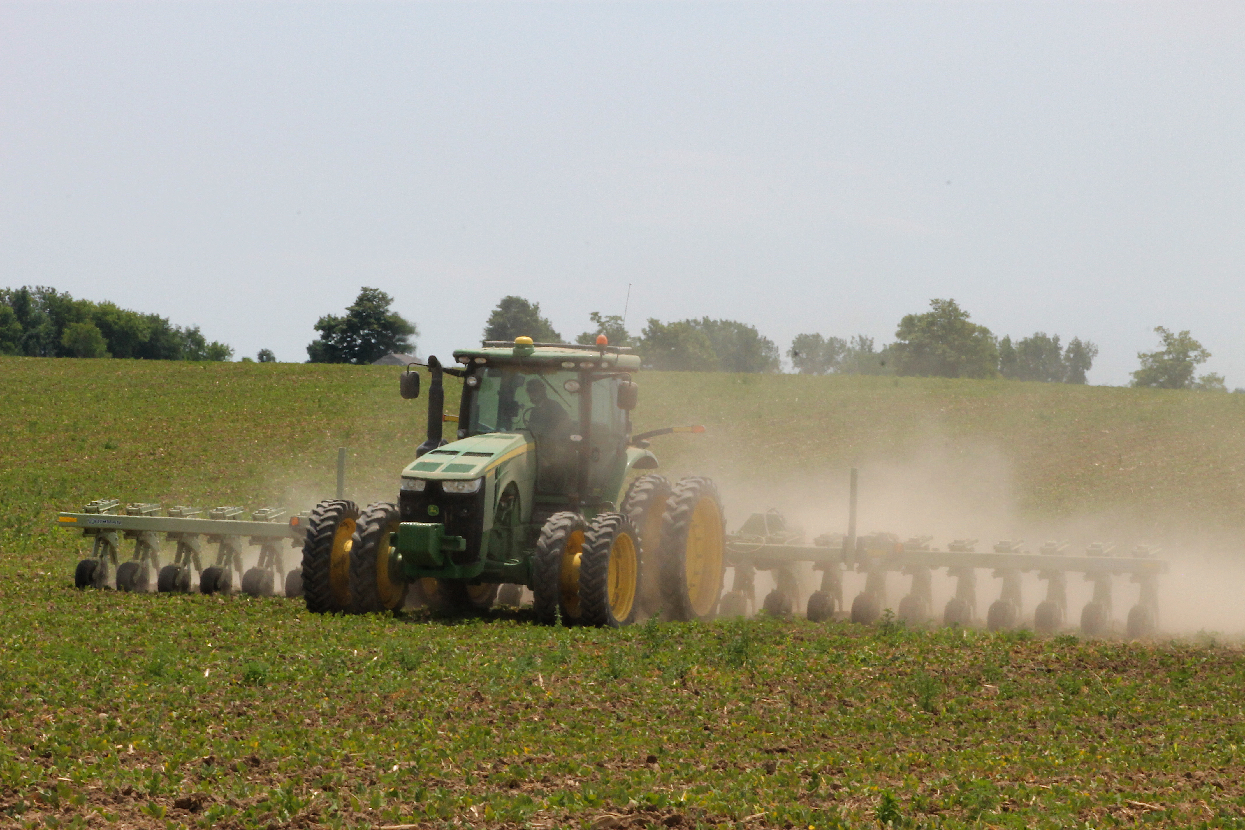 Cultivating young dry beans!