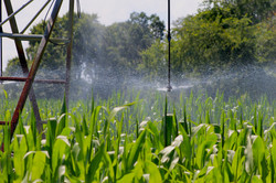 Irrigating Organic Yellow Corn