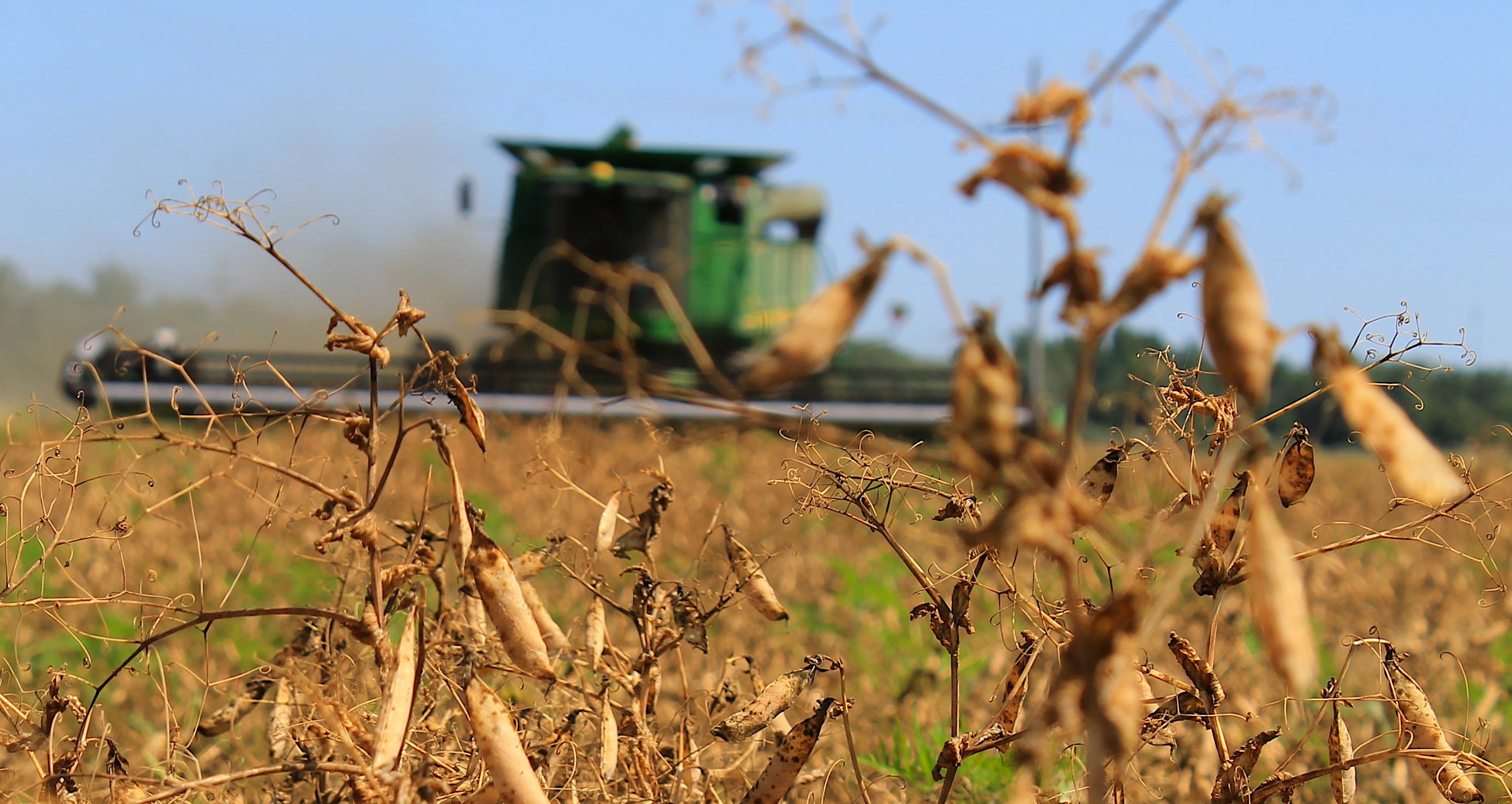 CWF harvesting organic field peas!