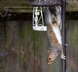 squirrel-5335626_1920.jpg