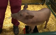 Elon Musk shows pig with a computer chip in it's brain