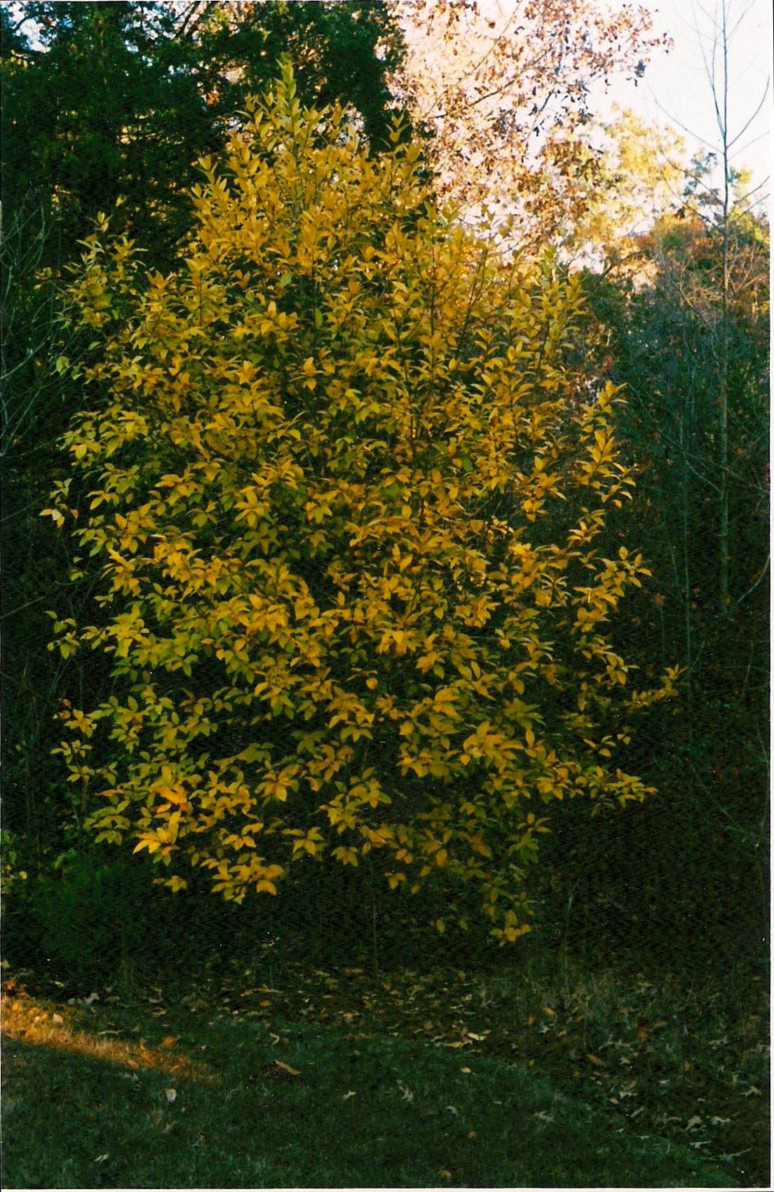 winter shot yellow bush