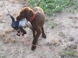 Hunting Pudelpointer