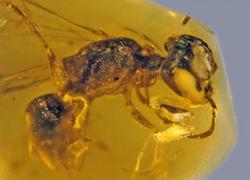 Fosil Bee