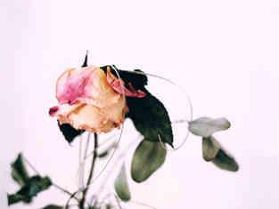 rose_quer.jpg