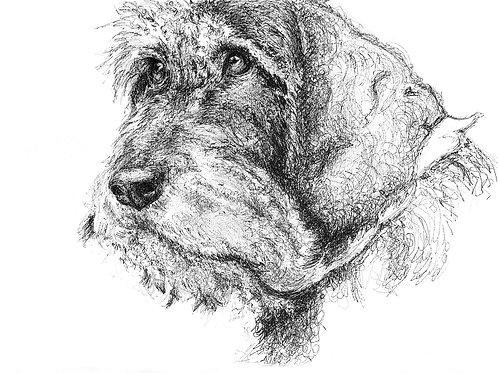 Wire-Haired Dachshund Face