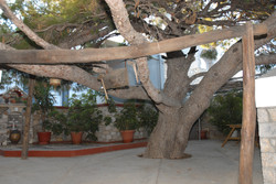St Savvas of Kalymnos-tree