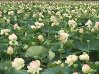 竹村のハス畑