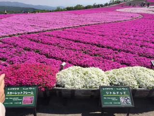 茶臼山高原「芝桜まつり」