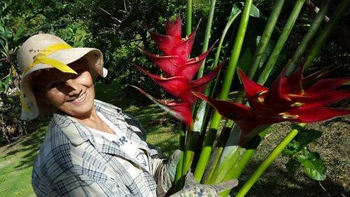 Heliconia caribbean Red 1 live Rhizomes