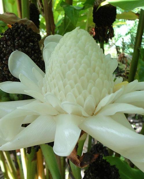1 WhiteTORCH RHIZOME live Rhizomes,