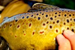 big trout 07.jpg