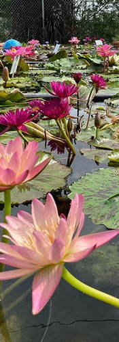Our water lilies were bursting open this