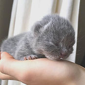 3 Days old #kittens #britishblue