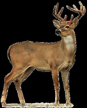 White Tail Deer Oriole Farm