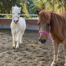BCRA school ponies Fish and Marshmallow await brushing, pats, and new students