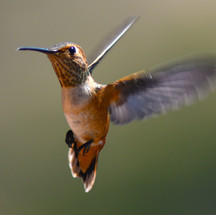 A local hummingbird gets the beauty treatment courtesy of BC resident Ken Bondy