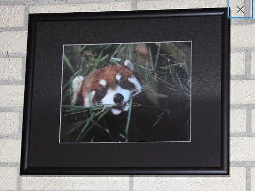 Red Panda Framed Photo with Black Mat