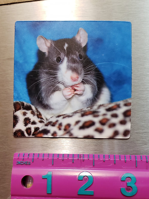 Rat Magnet of the Cutest Kind - 3 inch square