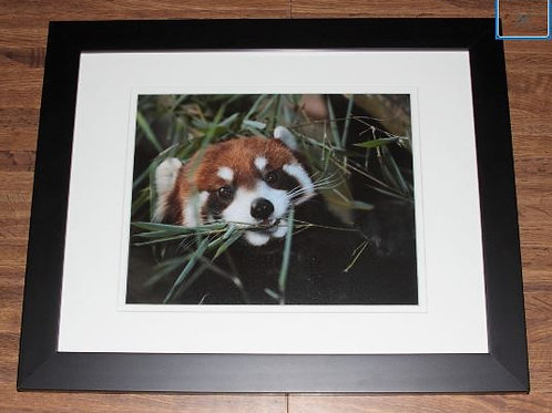 Red Panda Framed Photo