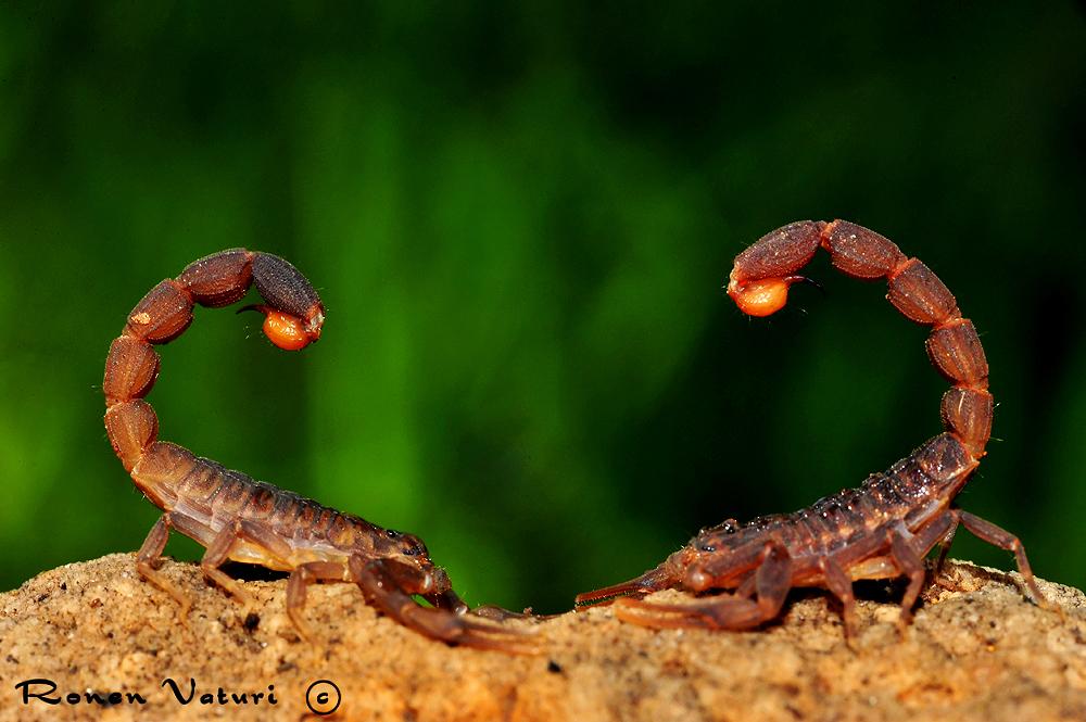 עקרב - חד צלע