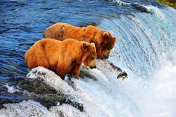 דובי גריזלי מפלי ברוקס, אלסקה