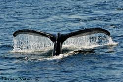 לוויתן גדול סנפיר