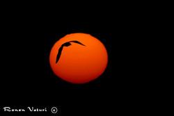 שחף בשמש
