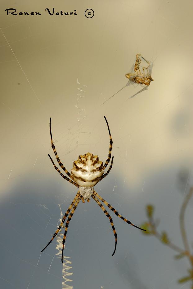 עכביש כסופי מפורץ וטרפו