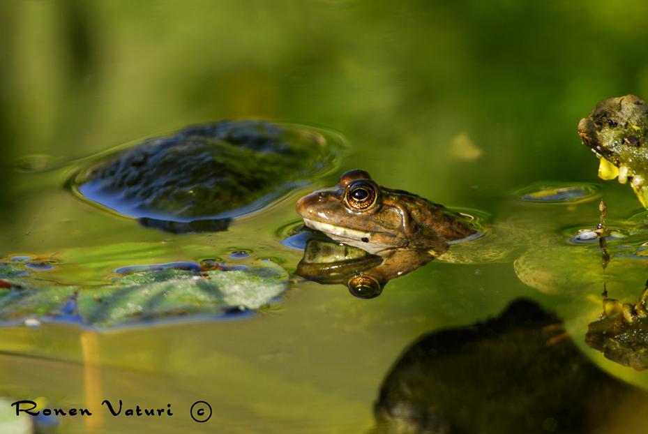 צפרדע נחלים